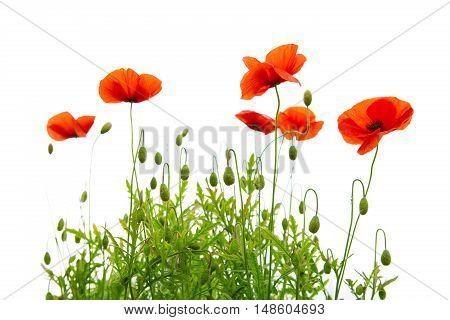 Red poppies isolated on white background.Flowers background.