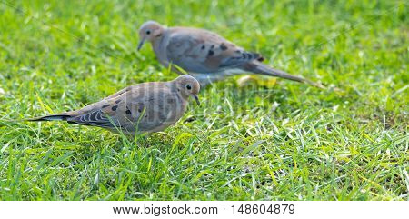 Mourning Dove, Turtle Dove (Zenaida macroura) in green grass feeding on bird seed scattered there.