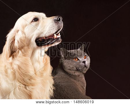 Cat and dog, British Shorthair and golden retriever looks at right.