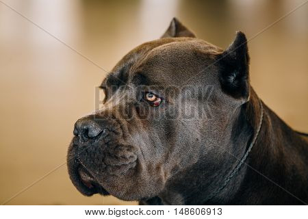 Brown Adult Cane Corso Close Up Portrait
