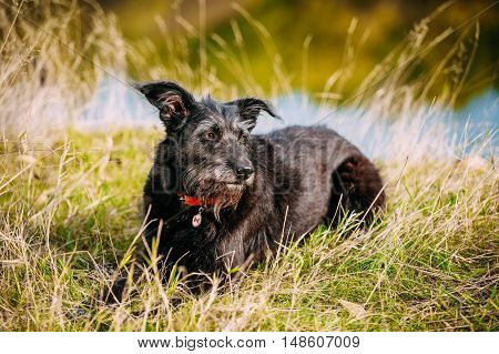 Small Size Black Dog in grass near river, lake. Summer Season.