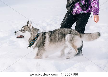 Young Husky Dog Puppy Play And Running Outdoor In Snow, Winter Season. Sunny Day