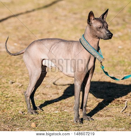 Mexican Hairless Dog. The Xoloitzcuintli or Xolo for short, is a hairless breed of dog