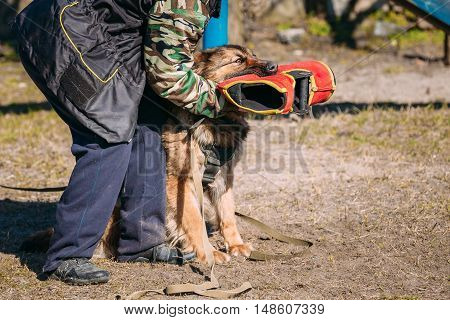 German Shepherd Dog Training. Biting Dog. Alsatian Wolf Dog. Deutscher Dog
