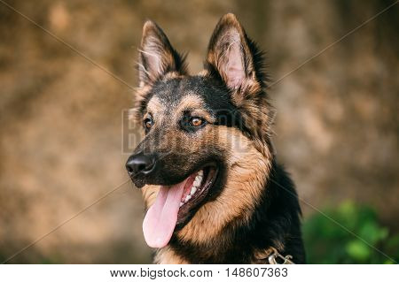 The Portrait Of Gazing Medium Size Mongrel Mixed Breed Long-Haired Black And Red Adult Dog With Prick-Ears, Opened Jaws, Tongue, Teeth.