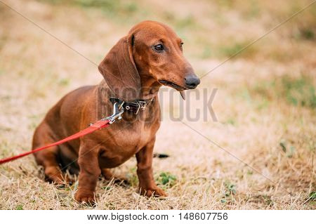 Funny Brown Red Dachshund Dog Play Outdoor