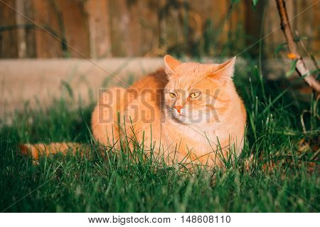 Funny Red Cat Sitting On Green Spring Grass In Garden. Outdoor Portrait At Summer Sunny Day