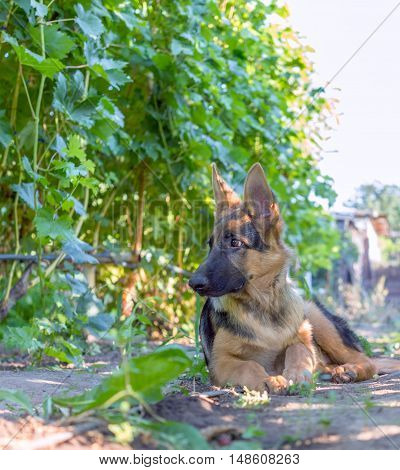 German shepherd puppy posing in a vineyard