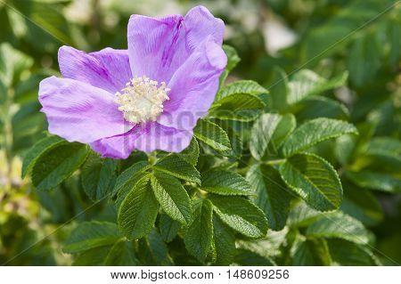 Flower of rosehip in nature on bush