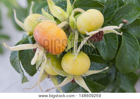 Big fruits of rosehip in nature on bush