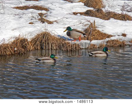 Wild Ducks (Spot-Billed Duck) (Anas Poecilorhyncha) 5