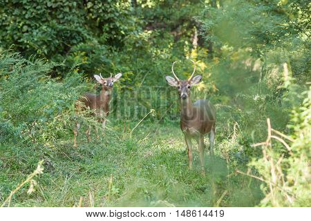 Whitetailed Bucks