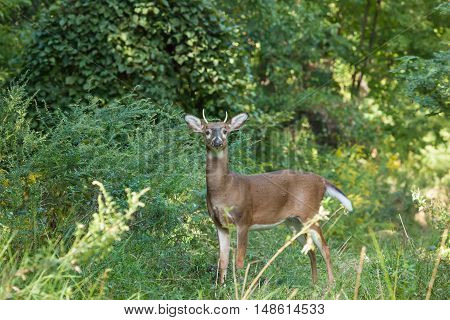 Whitetailed Buck