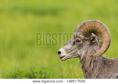 Rocky Mountain Big Horned Sheep in the summer
