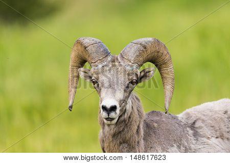 Rocky Mountain Big Horned Sheep