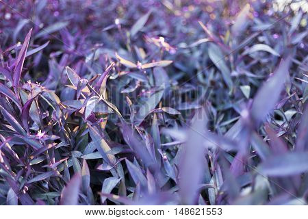 Closeup of a flowering Purple Heart plant.