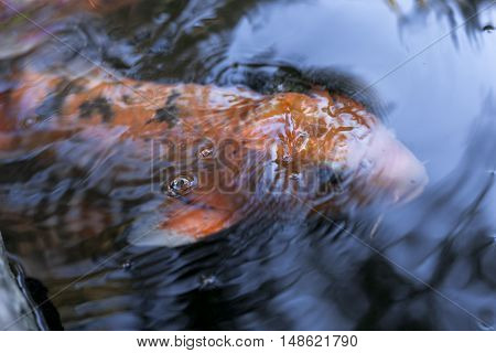 A Japanese Koi glides through a Lily pond breaching the surface.