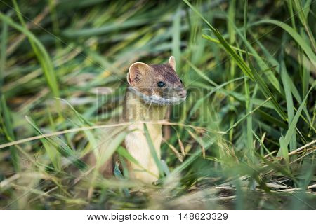 Long-tailed Weasel hiding in tall grass in Southern Alberta Canada