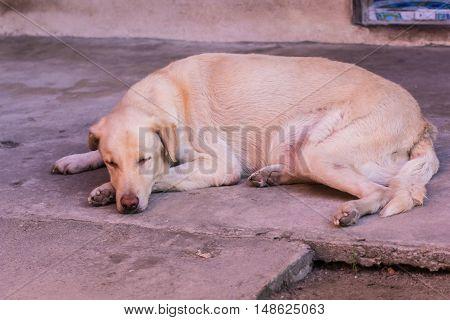 Thai white stray dog sleeping , pet