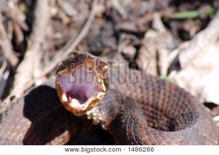 Snake Serpent Danger Water Moccasin Cotton Mouth