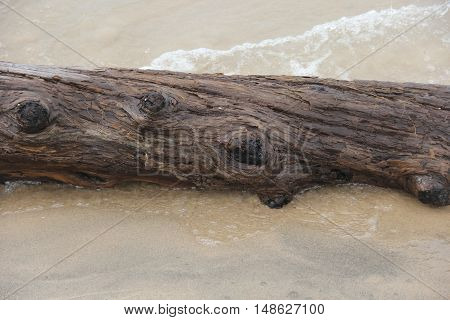 A pine tree drift wood on the shore of Lake Michigan