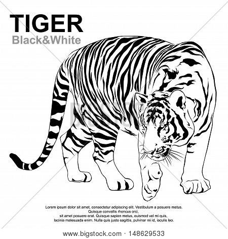 Tiger walking stride, tiger Black and White Victor.