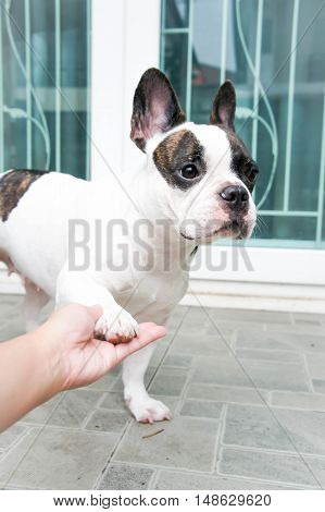 hand up dog or tame French bulldog