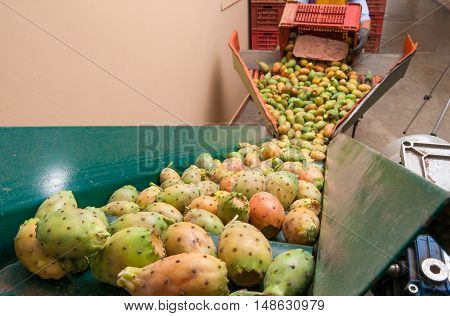 Just picked prickly pears in the conveyor belt for the working and packaging process