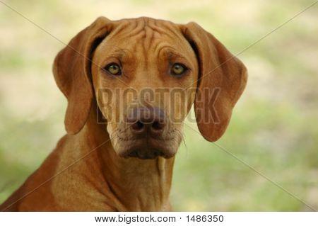 Rhodesian Ridgeback cão cão retrato