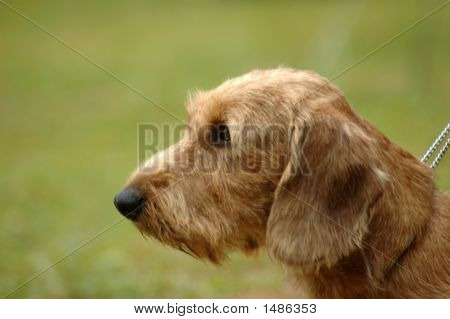 Dachshund Dog Head Portrait