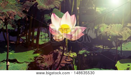 close up beautiful  lotus flower plants background