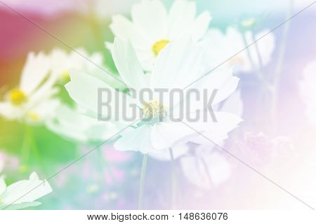 close up cosmos flower field in garden