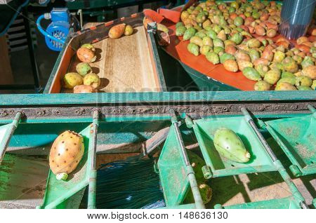 The Working Of Prickly Pears