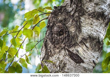 The trunk of an old birch close up.