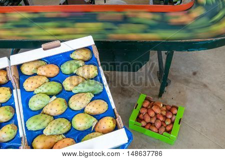 Prickly pears being packaged after the calibration process