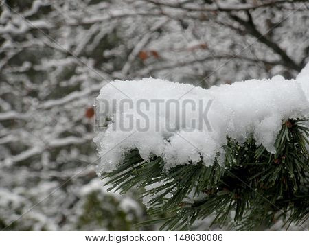 Frost on a Pine branch in winter