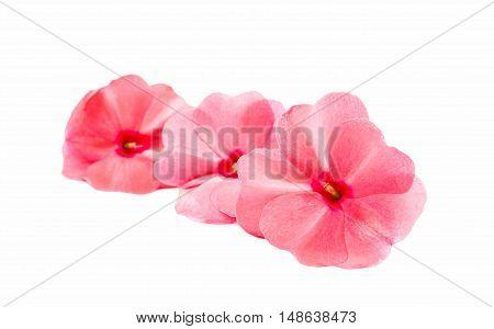 vinca rosea Flower Catharanthus roseus Madagascar periwinkle on white background