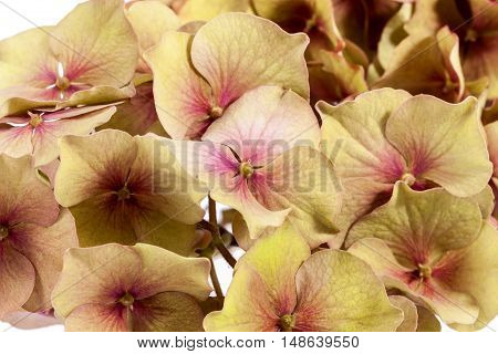 Flower of hortensia (Hydrangea macrophylla) isolated on white background close up