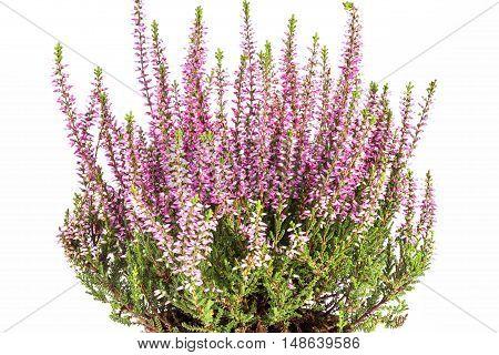 Flowers of pink Calluna vulgaris in pot on white background.