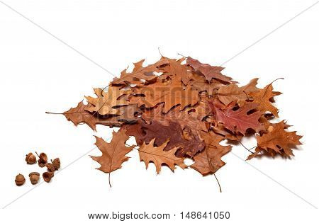 Autumnal Dried Leafs Of Oak And Acorns