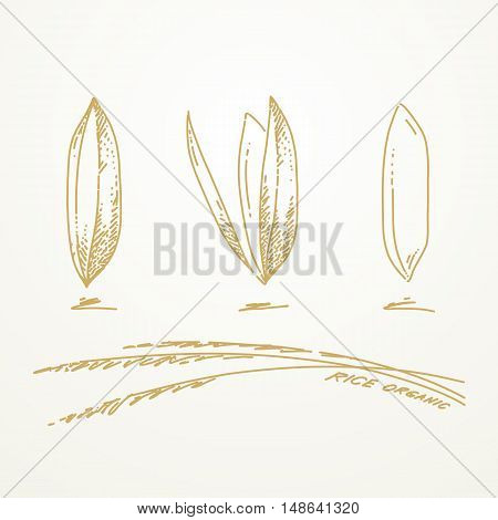 Rice grains Sketch hand drawn on white background