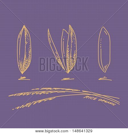 Rice grains Sketch hand drawn on violet background