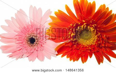 Close up Orange and pink Gerbera on white background