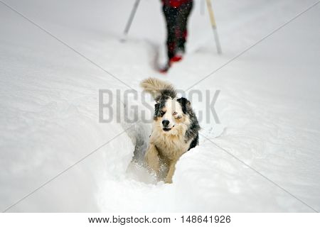 Blue Eyed Dog On The Snow Background