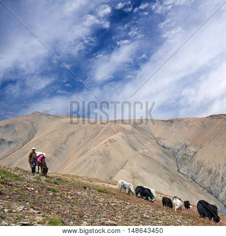 DOLPO,NEPAL - SEPTEMBER 5, 2011: Tibetan nomad with yaks walking across mountain pass in the Nepal Himalaya