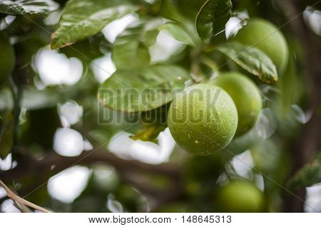A green tangerine is hanging from an orange tree