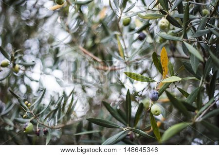 Olive leaves hanging from an olive branch
