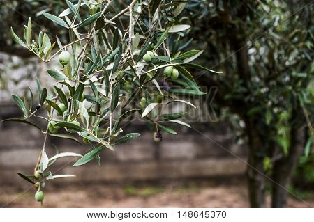 An olive branch is extending from an olive wood