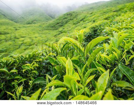 Boh Tea Plantation In Cameron Highlands