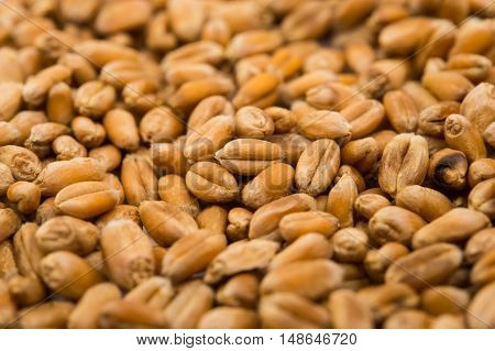 close-up wheat grain agriculture harvest, food, textured